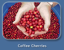 Kona Coffee Cherries at Mango Sunset Bed & Breakfast in Kona, Hawaii